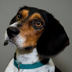 Wilbur - the office dog headshot